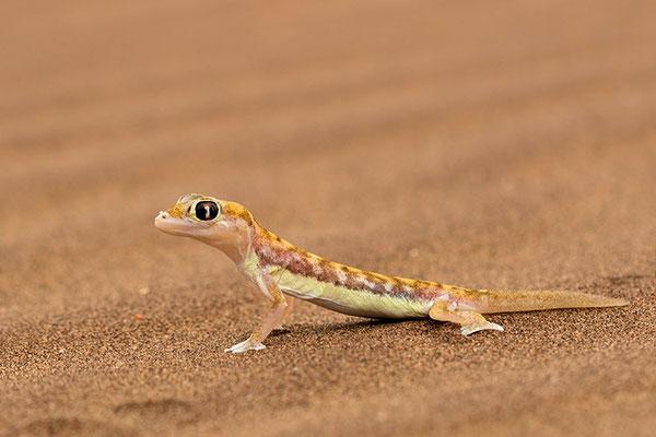Swakopmund - Desert Tour: Gecko palmé