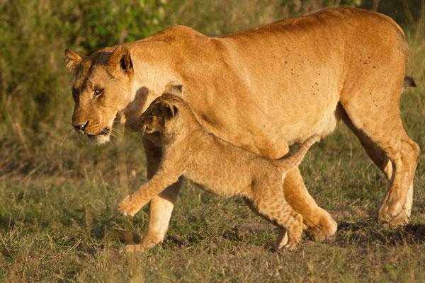 Maasai Mara - petite canaille