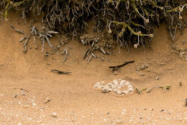 Swakopmund - Desert Tour: Vipère à cornes