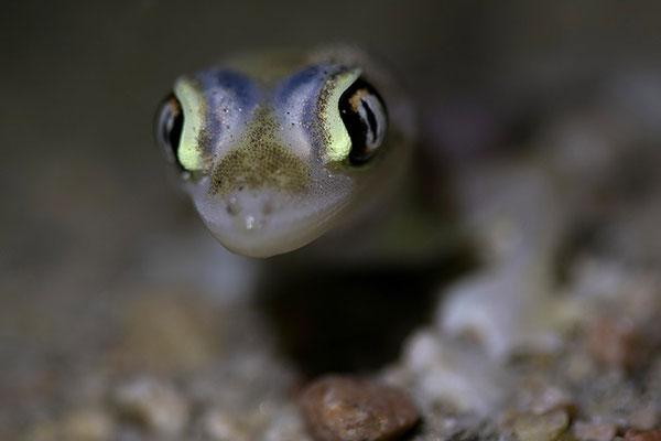 Swakopmund - Night walk dans les dunes: notre ET le gecko palmé