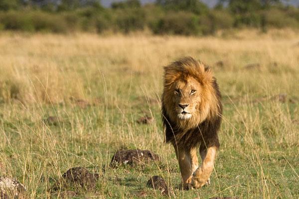 Maasai Mara - Lion