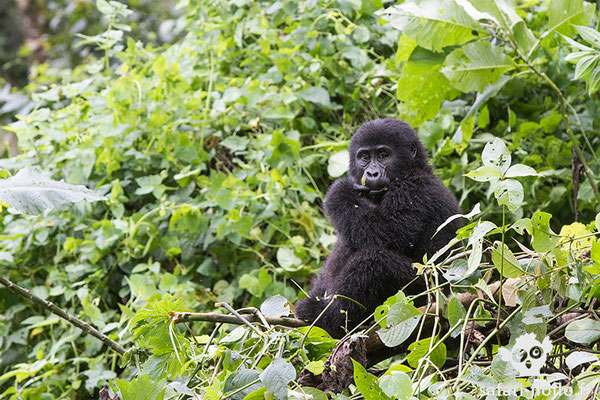 Gorille de Montagne