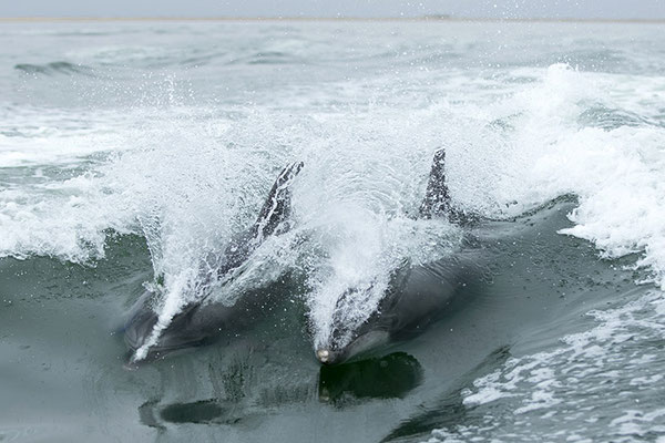 Swakopmund - Tursiops (Bottlenose dolphin) jouant derrière le bateau