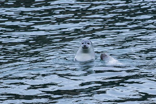 Phoque gris femelle et son jeune