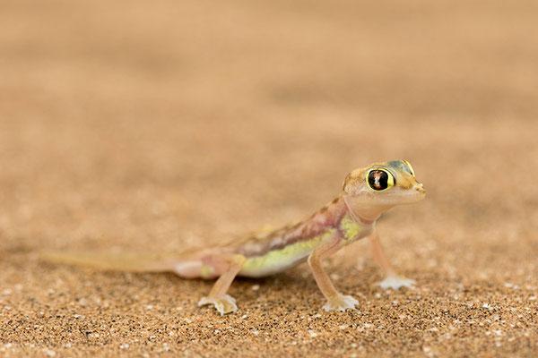 Swakopmund - Gecko palmé