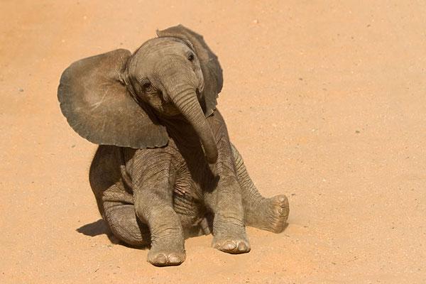 Samburu- Jeune éléphanteau faisant le clown