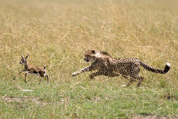 Maasai Mara - Jeune guépard apprenant à chasser un bébé gazelle de Thompson