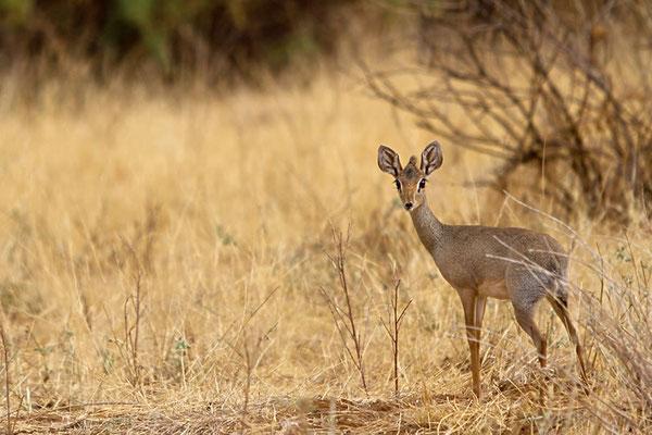Samburu- Dik DIk