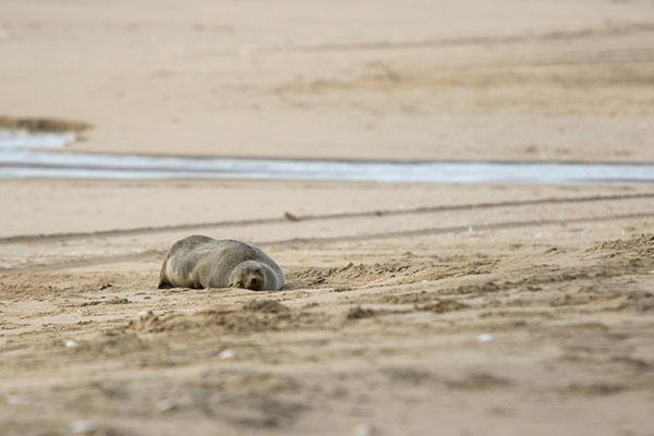 Swakopmund - Otarie à fourrure