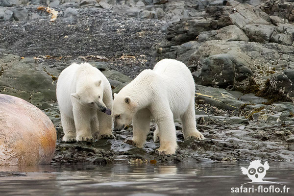 Ours Polaire (femelle avec ses 2 oursons)