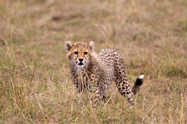 Maasai Mara - jeune guépard