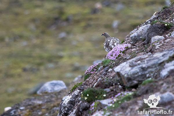 Lagopède alpin