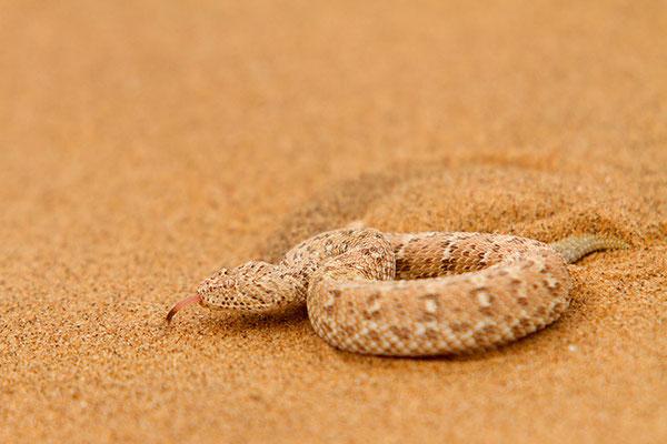 Swakopmund: desert tour - Vipère de Peringuey