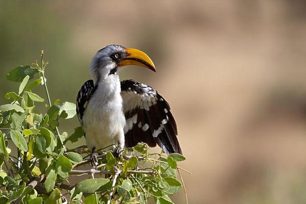 Samburu - Calao à bec jaune