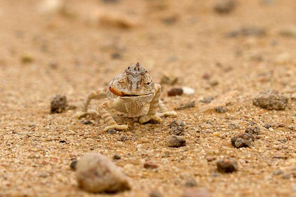 Swakopmund: desert tour - Caméléon Namaqua