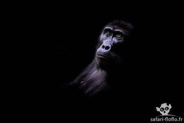Gorille de Montagne - Post traitement clair obscur