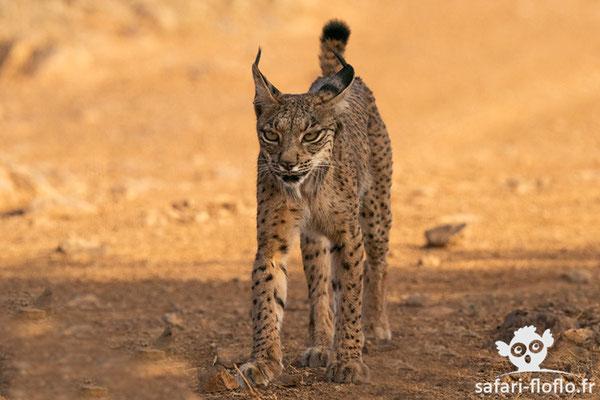 Lynx Parcelle ou Lynx Ibérique ou Lynx d'Espagne