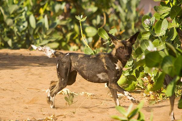 Samburu- Lycaons