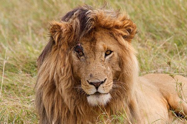 Maasai Mara - le charismatique Scarface