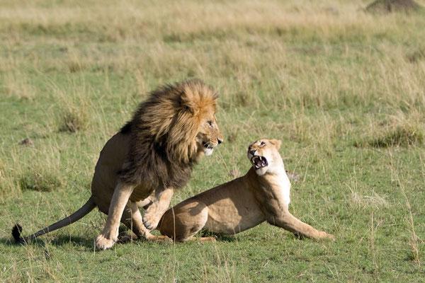 Maasai Mara - c'est beau l'amour