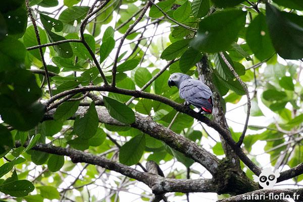 Perroquet du Gabon