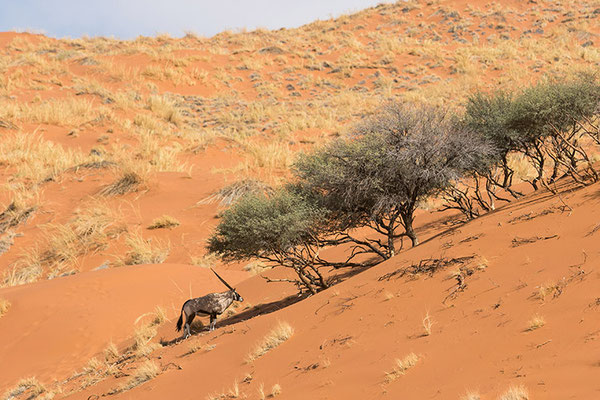Sossusvlei - Oryx dans la dune Elim
