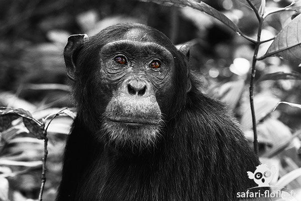 Chimpanzé - Ouganda