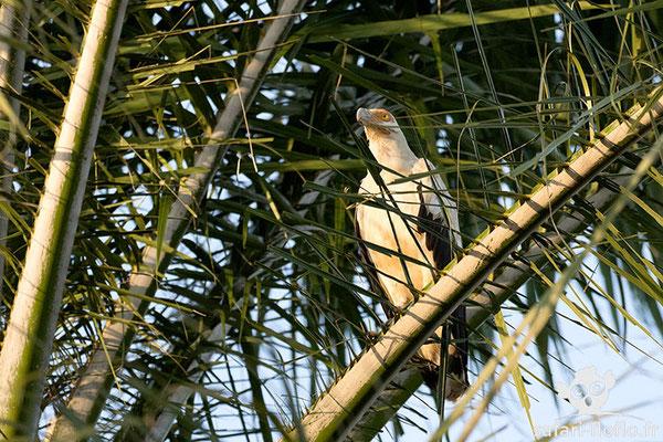 Palmiste Africain