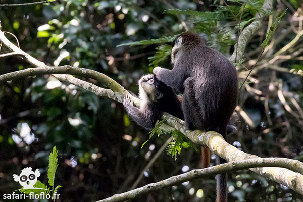 Cercopithèque Ascagne ou Hocheur Blanc-Nez du Congo