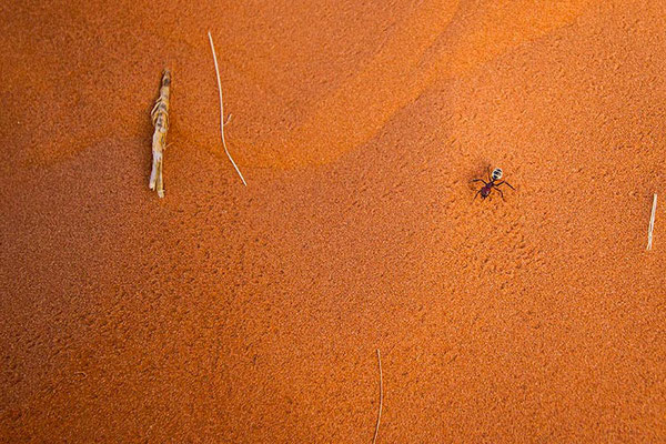 Sossusvlei: petite fourmi sur grande dune