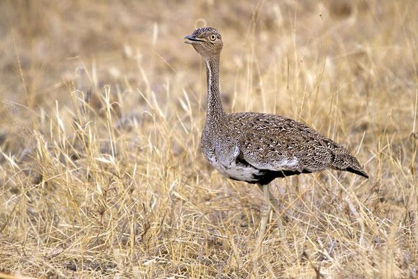 Samburu - Outarde de Heuglin