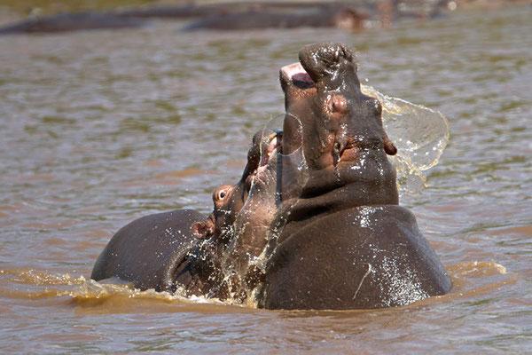 Maasai Mara - combat amical d'hippopotames