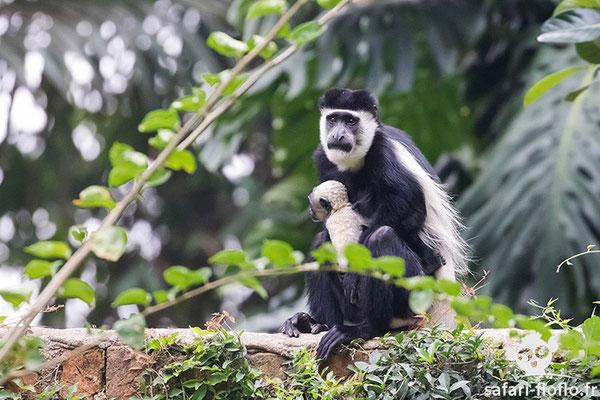 Colobe Guereza avec son bébé de 5 jours