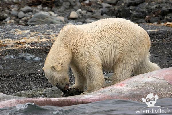 Ours Polaire (jeune mâle de 3 ans)