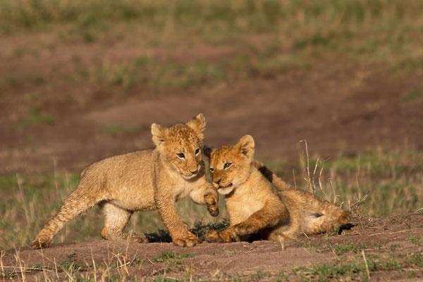 Maasai Mara - jeu de lionceaux