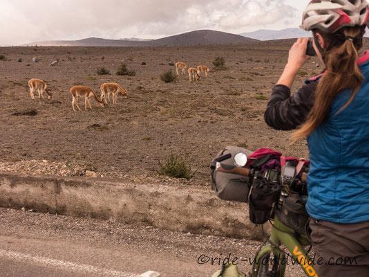 Vicuñas am Fuß von Vulkan Chimborazo