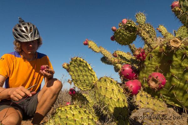Kaktusfeige fruchtig lecker, aber eine stachelige Angelegenheit
