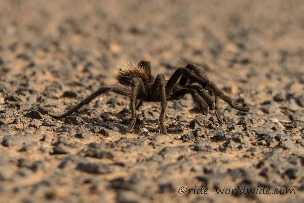 Tarantula, aber nur eine kleine und nicht die Einzige