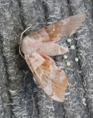 Pappelschwärmer: Sturzgeburt auf der Fußmatte