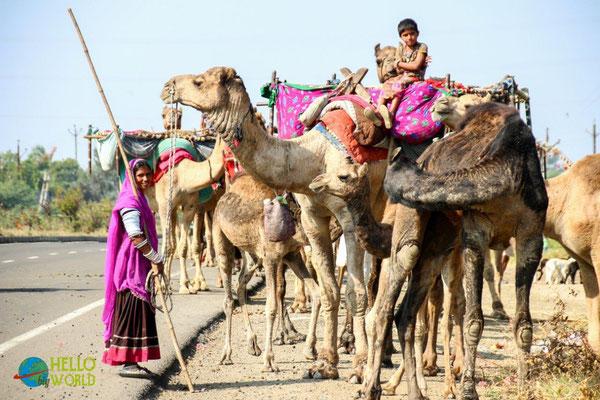 Kamelkarawane am Straßenrand in Indien