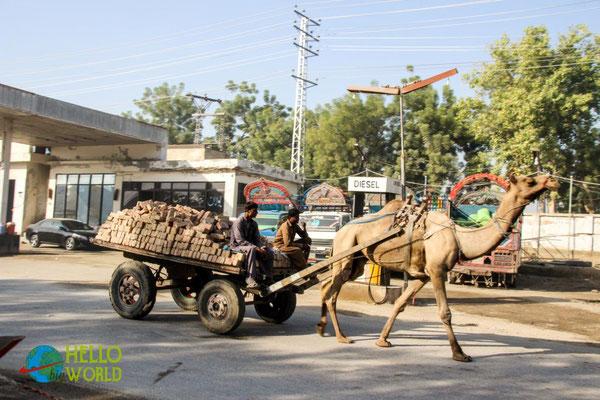Kamele als Zugtiere sahen wir im südlichen Pakistan häufig