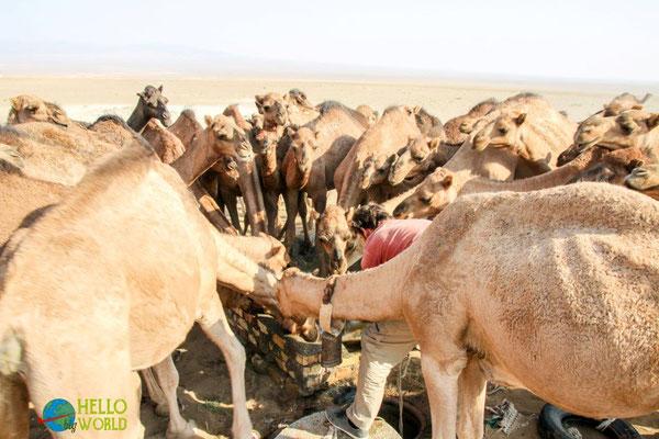 Kamele tränken in der Wüste, Iran
