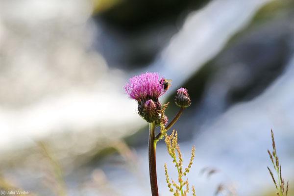 Wilde lilafarbene Blume mit einer Hummel am Rande des Svandalsfossen