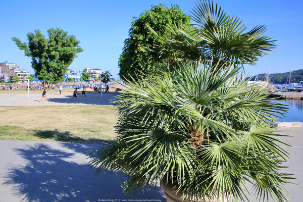 Palm tree at Bystranda in Kristiansand with volleyball players in the background