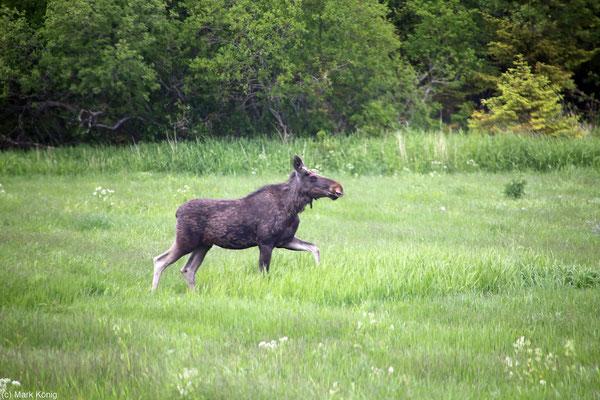 Ein Elch läuft auf einer grünen Wiese in Mittel-Norwegen