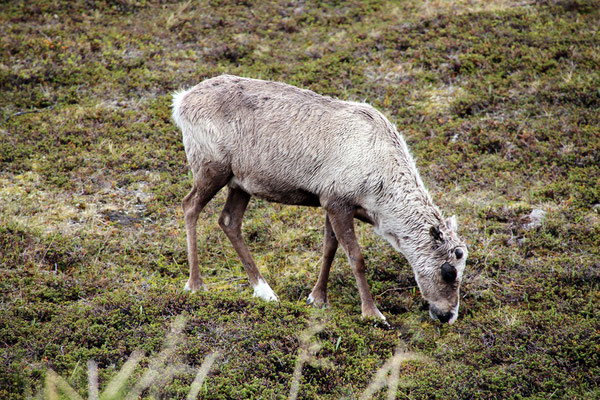 A reindeer close to the road