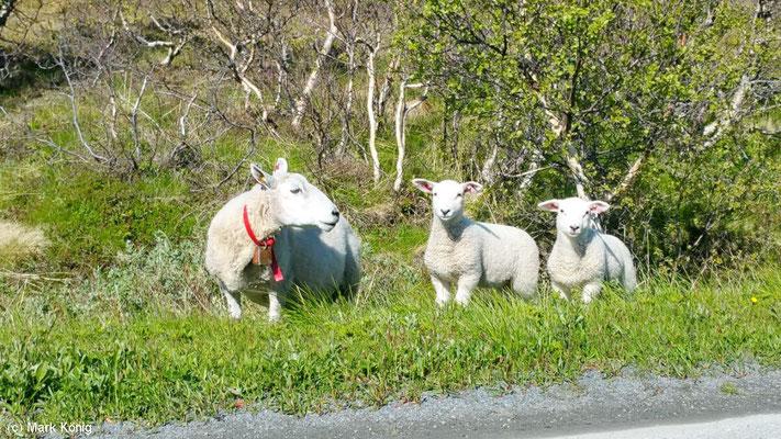 Nicht alle Schafe schauen so vorbildlich vorher nach links, bevor sie auf die Straße laufen (Vesteralen)