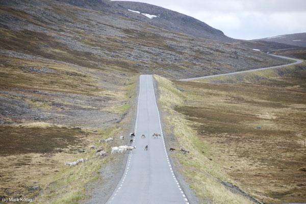 Rentier-Herde mit Jungtieren passiert eine Straße in Nord-Norwegen