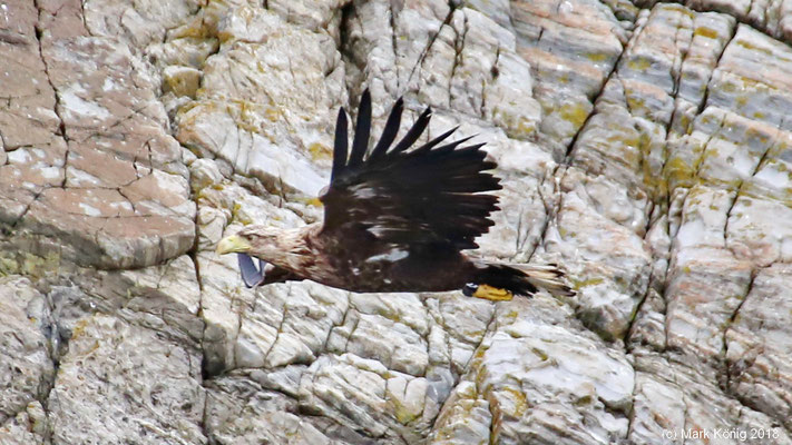 A sea eagle is flying straight along the coastline of Runde