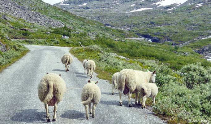 Schafe stehen und gehen öfter auf Straßen in Nowegen